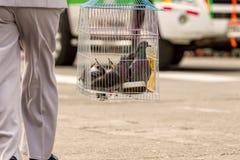Gray Pigeons On una gabbia Immagini Stock
