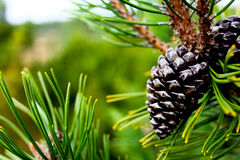 Gray Pinecones Attached on Tree Stock Photos