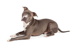 Gray Pit Bull Dog Laying Royaltyfria Foton