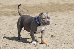 Gray pitbull at the beach with a toy royalty free stock photo