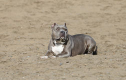 Gray Pitbull laying in the sand Royalty Free Stock Images