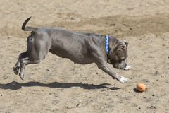 Gray Pitbull pouncing on a toy in the sand. A gray pitbull dog jumping on a toy at the beach Stock Image