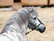 Gray pony Stock Photography
