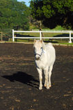 Gray pony on farm Stock Photos