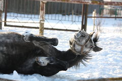 Gray pony rolling in the snow Stock Photography