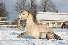 Gray pony rolling in the snow Royalty Free Stock Photos