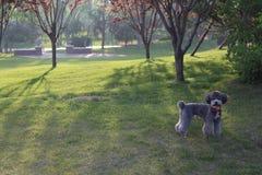 Gray Poodle imagens de stock