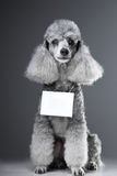 Gray poodle dog with tablet for text on grey Royalty Free Stock Photography