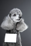 Gray poodle dog with tablet for text on grey Stock Photos