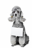 Gray poodle dog with tablet for text on isolated Royalty Free Stock Images
