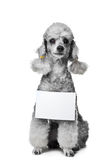 Gray poodle dog with tablet for text on isolated w Stock Photo