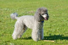 Gray poodle on a green lawn Stock Photos