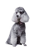 Gray poodle on isolated white background Royalty Free Stock Photo
