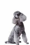 Gray poodle on isolated white background Royalty Free Stock Image
