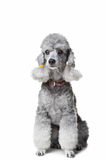 Gray poodle on isolated white background Stock Photo