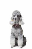 Gray poodle on isolated white background Stock Photo