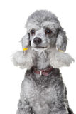 Gray poodle with leather collar on isolated white Stock Image