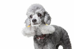 Gray poodle with leather collar on isolated white Royalty Free Stock Photos