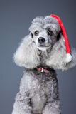 Gray poodle with red christmas cap Stock Images