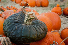 A Gray Pumpkin in a Pumpkin Patch Royalty Free Stock Photography