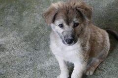 Gray Puppy Dog Sitting på jordningen fotografering för bildbyråer