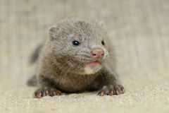 Gray puppy mink. Small gray puppy animal mink on sacking Royalty Free Stock Photography