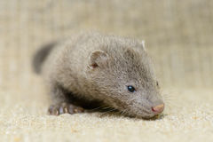 Gray puppy mink. Small gray puppy animal mink on sacking Royalty Free Stock Photos