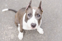 Gray puppy Stafford Royalty Free Stock Images