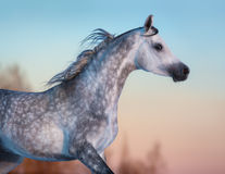 Gray purebred Arabian horse on background of evening sky. Portrait of gray purebred Arabian horse on background of evening sky Stock Image