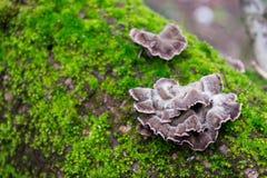 Gray, purple mushrooms on the bark of trees of green, furry moss. Gray, purple mushrooms on the bark of trees of green, furry moss Royalty Free Stock Images