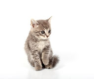 Gray pussy cat Stock Images