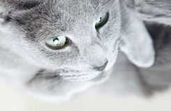 Gray cat. Portrait of the gray cat indoors royalty free stock photo