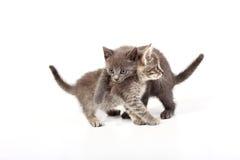 Gray cats Royalty Free Stock Photography