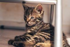 Gray Pussycat en el piso en la expresión seria Fotografía de archivo