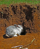 Gray Rabbit. Rabbit outside its hole in Chiapas, Mexico stock photos