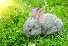 Gray rabbit. Lying in a meadow Stock Images