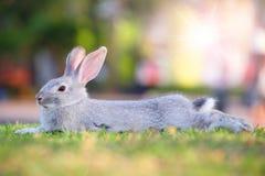 Gray rabbit. Stock Photo