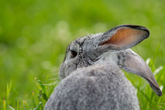 Gray rabbit Royalty Free Stock Photography