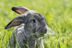 Gray rabbit. On meadow in green grass Stock Photo