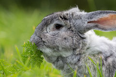 Gray rabbit. On meadow eat grass Stock Photography