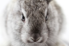 Gray rabbit Stock Photos