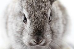 Gray rabbit Stock Photos