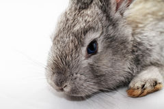 Gray rabbit Royalty Free Stock Images