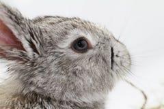 Gray rabbit Stock Photography