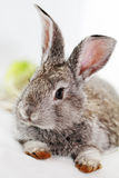 Gray rabbit Stock Image