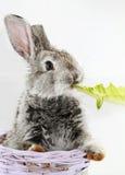 Gray rabbit Royalty Free Stock Image