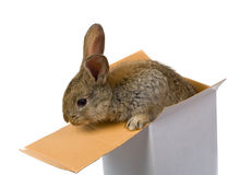 Gray rabbit climbing out from the box Stock Photos