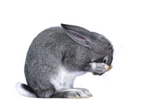 Gray rabbit closed nose paws Royalty Free Stock Images