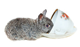 Gray rabbit drink from cup Royalty Free Stock Image