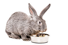 Gray rabbit eating from a bowl cabbage. Isolated on a white background Royalty Free Stock Photography